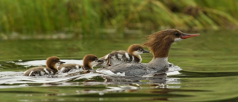 Merganser Mom and Chicks by Anita Mueller