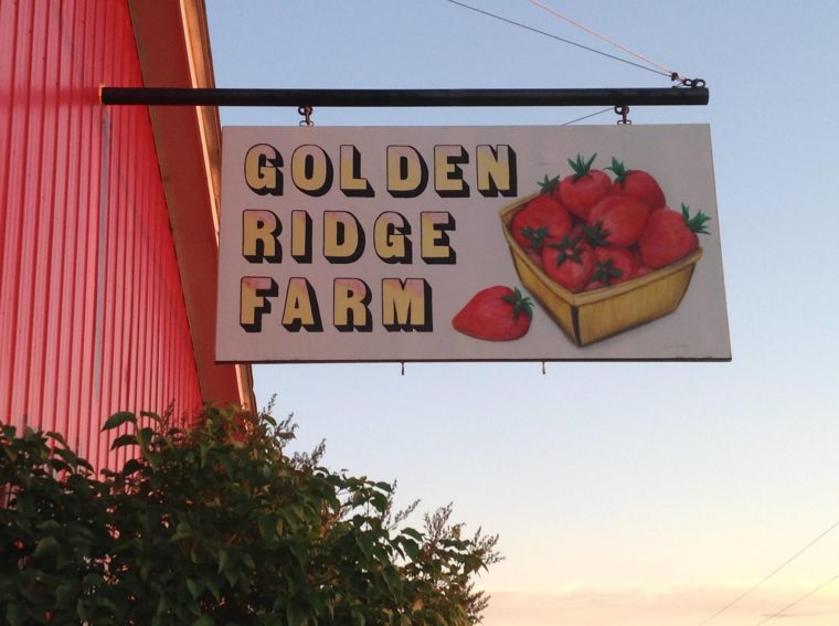 Strawberry Picking at Golden Ridge Farm in Sherman, Maine