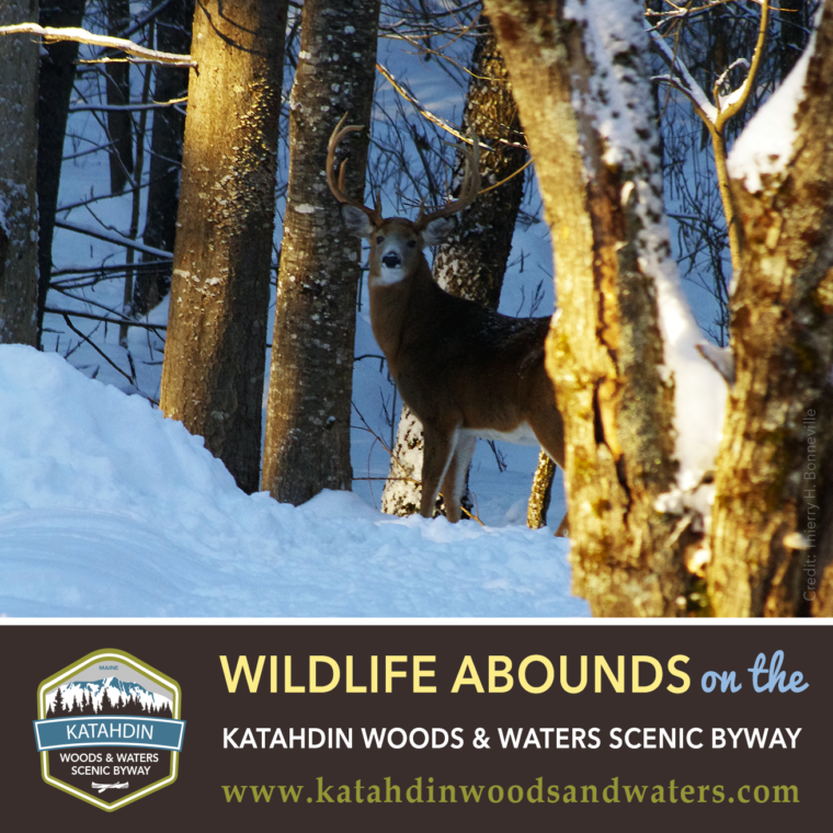 Wildlife-Abounds-Katahdin-Woods-Waters